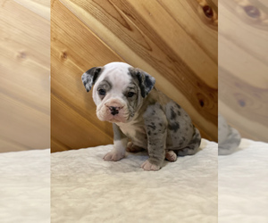English Bulldog Puppy for sale in ORRVILLE, OH, USA
