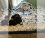 Small Photo #1 Cocker Spaniel Puppy For Sale in CROSS TIMBERS, MO, USA