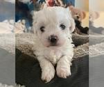 Puppy 5 Shih-Poo