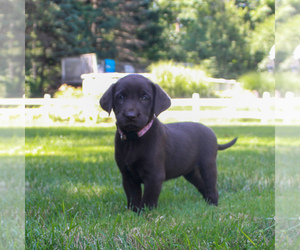 Labrador Retriever Puppy for sale in NARVON, PA, USA