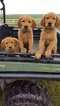 Golden Retriever Puppy For Sale in NEWELL, IA, USA