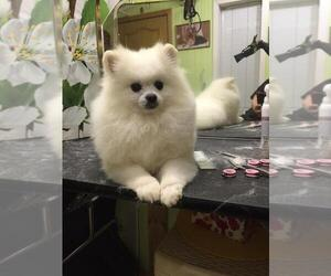 Pomeranian Dog for Adoption in ELBERON PARK, New Jersey USA