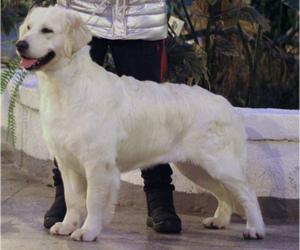 Mother of the English Cream Golden Retriever puppies born on 08/09/2020