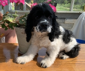 Cocker Spaniel Puppy for Sale in CROSS TIMBERS, Missouri USA