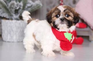 View Ad Shih Tzu Puppy For Sale Ohio Mount Vernon Usa