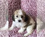 Puppy 6 Cavachon