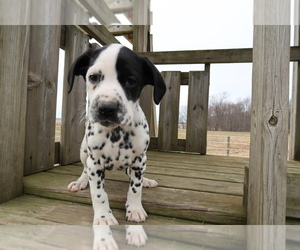 Dalmatian Puppy for sale in OTTAWA HILLS, OH, USA