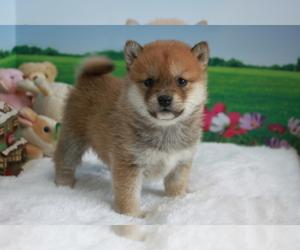 Shiba Inu Puppy for sale in EMPIRE STATE, NY, USA