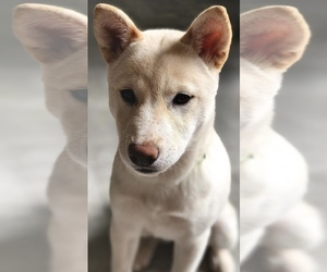 Shiba Inu Puppy for Sale in SAN DIEGO, California USA