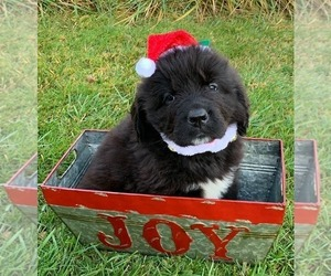 Newfoundland Puppy for sale in CHEHALIS, WA, USA
