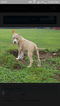 American Pit Bull Terrier Puppy For Sale near 65802, Springfield, MO, USA