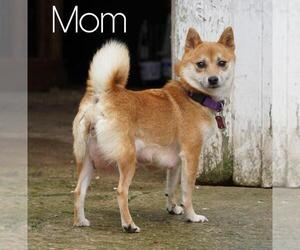 Mother of the Shiba Inu puppies born on 09/07/2020
