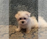 Image preview for Ad Listing. Nickname: Maltese baby