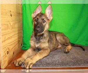 German Shepherd Dog Puppy for Sale in SHAWNEE, Oklahoma USA