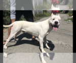 Small #2 Dogo Argentino