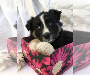 Border-Aussie Puppy for Sale in LOMA, Colorado USA