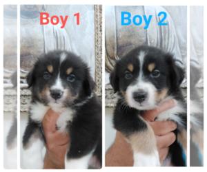 Australian Shepherd Puppy for sale in NEWARK, CA, USA