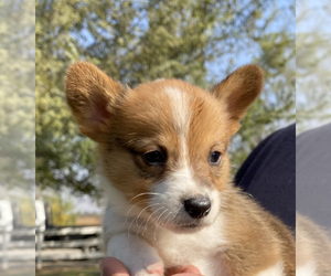 Pembroke Welsh Corgi Puppy for sale in VISALIA, CA, USA