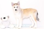 Siberian Husky Puppy For Sale in NAPLES, FL,