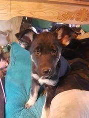 German Shepherd Dog-Siberian Husky Mix Puppy For Sale in WILLOW STREET, PA, USA