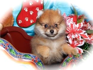 Pomeranian Puppy For Sale in HAMMOND, IN, USA