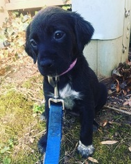 American Gointer Puppy For Sale in COLUMBIA, MD, USA