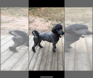Poodle (Standard) Puppy for Sale in BROOMFIELD, Colorado USA