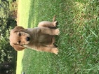 Golden Retriever Puppy For Sale in BENTON, AR, USA
