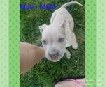 Puppy 4 American Staffordshire Terrier