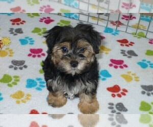 Morkie Puppies for Sale in Arizona, USA, Page 1 (10 per page