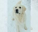 Golden Retriever Puppy For Sale in FOUNTAIN, CO, USA