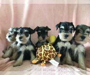 Schnauzer (Miniature) Puppy for Sale in SARASOTA, Florida USA