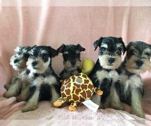 Schnauzer (Miniature) Puppy for sale in SARASOTA, FL, USA