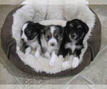 Small Photo #1 Austi-Pap Puppy For Sale in NEWARK, DE, USA