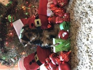 Yorkshire Terrier Puppy for sale in PHOENIX, AZ, USA