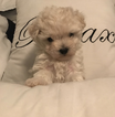 Maltese Puppy For Sale in FAIRFAX, VA, USA