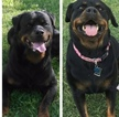 Rottweiler Puppy For Sale in CRESCENT, OK, USA