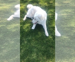 Great Pyrenees Puppy for Sale in EASTVALE, California USA
