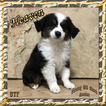 Heaven Mini Black Tri Female Aussie