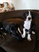 Great Dane Puppy For Sale in CLOVIS, California,