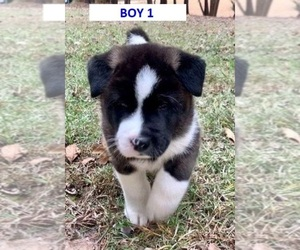 Akita Puppy for Sale in BIRMINGHAM, Alabama USA