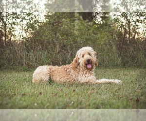 Mother of the Goldendoodle puppies born on 05/31/2021