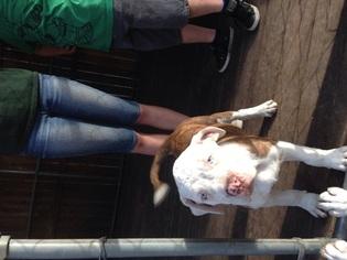 American Bulldog Puppy For Sale in ZEPHYRHILLS, FL