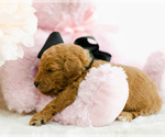 Small #6 Goldendoodle (Miniature)