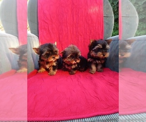 Yorkshire Terrier Puppy for sale in SIMI VALLEY, CA, USA