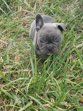 french bulldog tennessee view ad french bulldog puppy for sale tennessee bone 6927