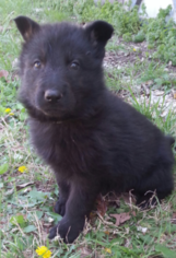 German Shepherd Dog Puppy For Sale in ROLLA, MO