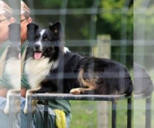 Father of the Australian Shepherd puppies born on 03/15/2021