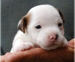 Puppy 2 Jack Russell Terrier