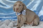 Weimaraner Puppy For Sale in BREMEN, Georgia,